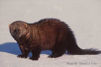 "Fisher ""cat"""