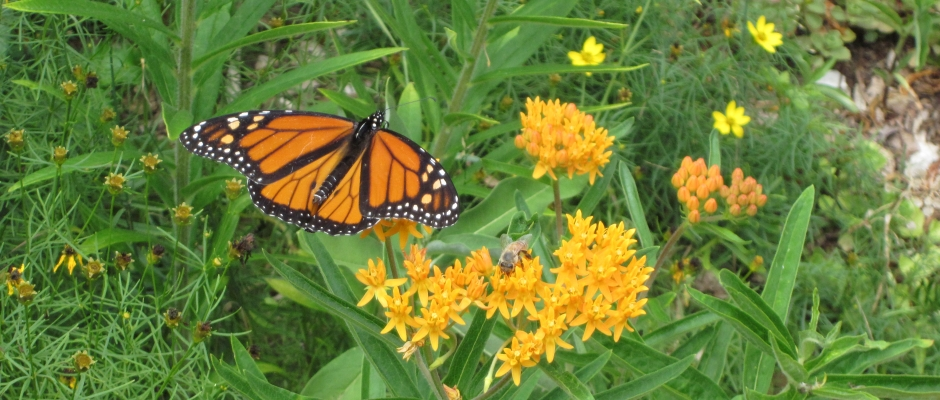 Monarch Butterfly & Honeybee sipping Butterfly Weed nectar